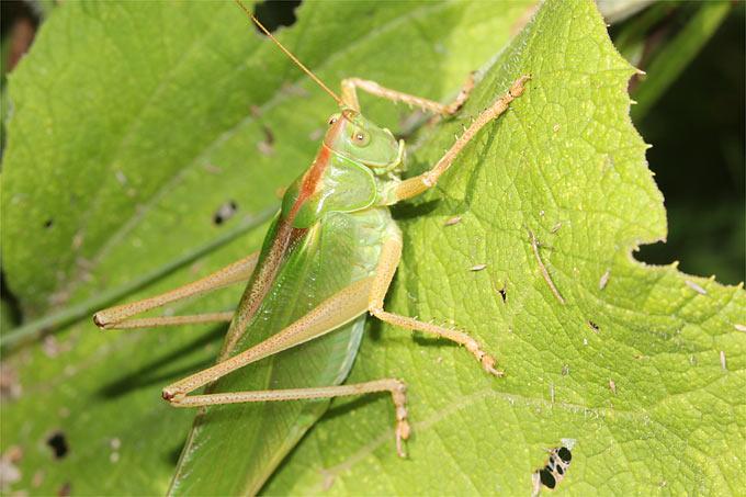 Heuschrecken Springen & Beißen